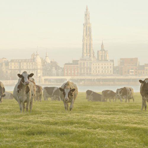 Linkeroever met koeien